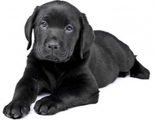 Charming puppy labrador on a white background